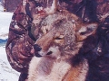gallery-coyote008